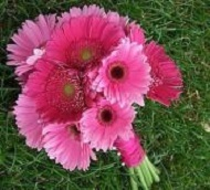 [Image: Large and small gerbera daisies....they come in a large variety of colors.]